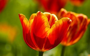 Tulips Macro Wallpaper