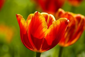tulips macro wallpaper background