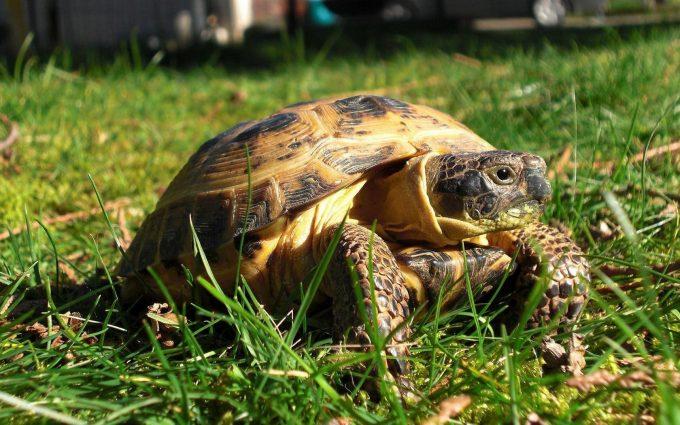 turtle in grass wallpaper