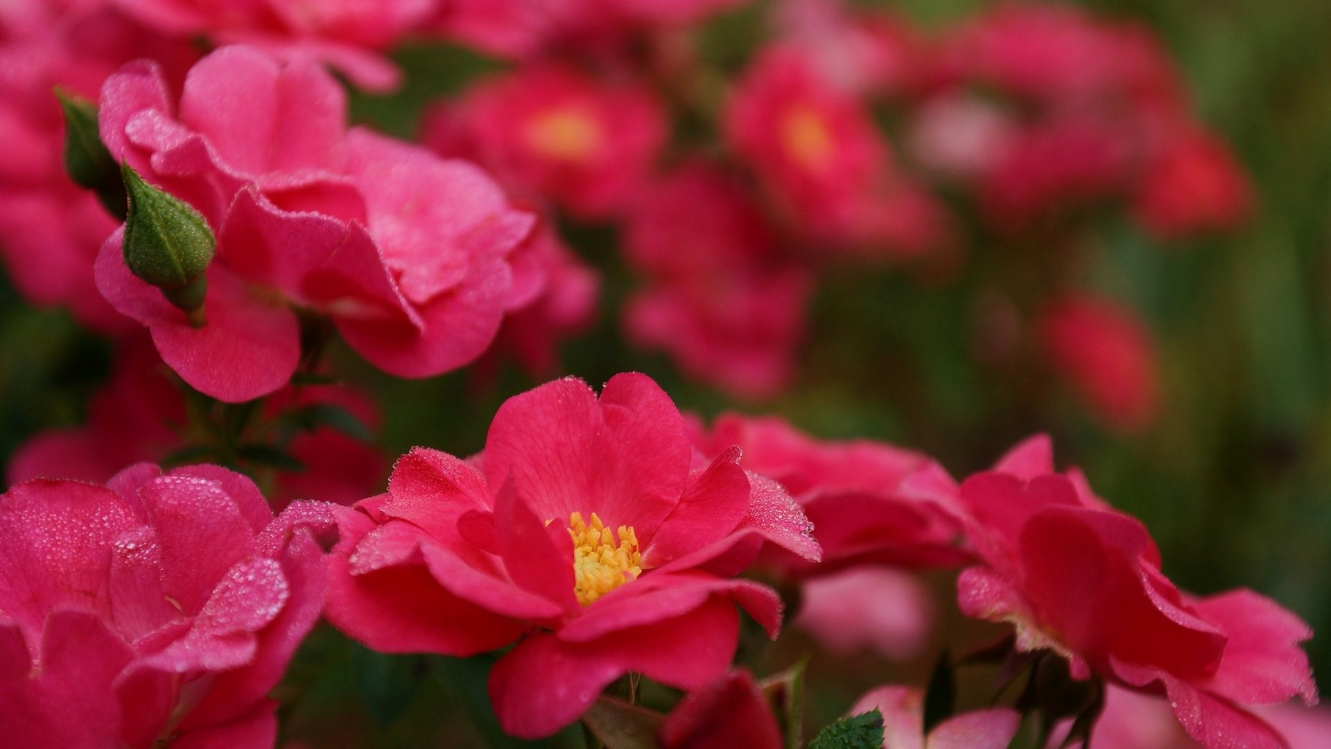 water drops on flowers wallpaper background