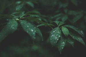 Water Drops on Green Leaves Wallpaper