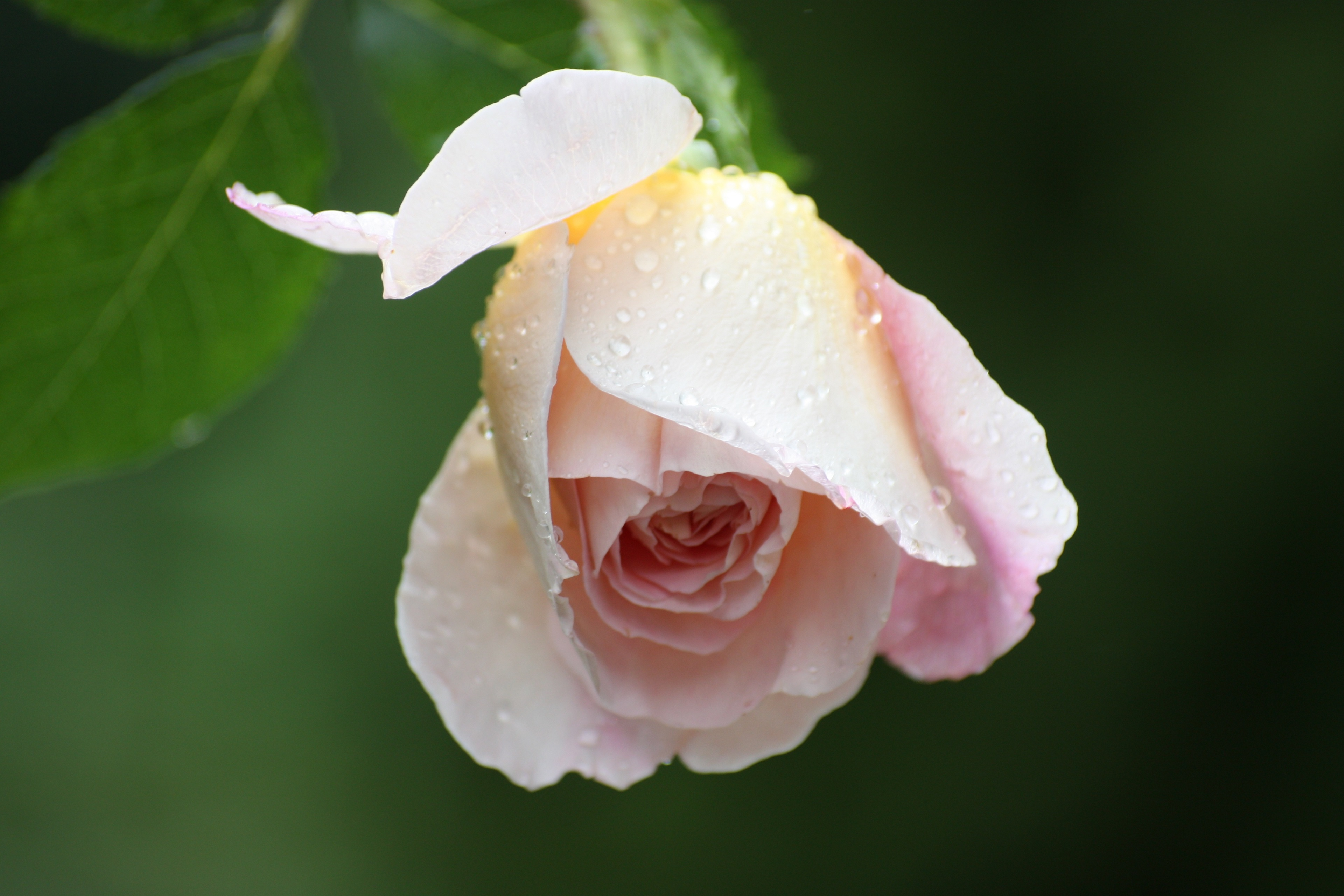 water drops on light pink rose wallpaper background