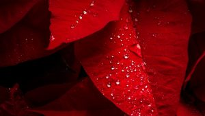 Water Drops on Red Leaves Wallpaper