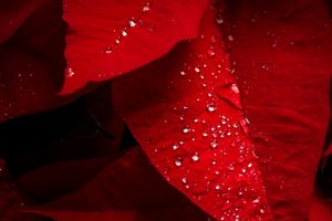 water drops on red leaves wallpaper background