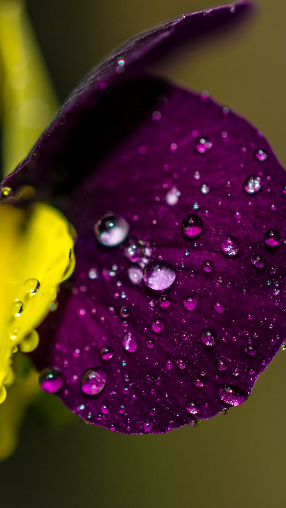 Water Drops On Violet Flower Wallpaper 4k 5k Hd Wallpaper Background