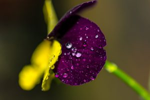 Water Drops on Violet Flower Wallpaper 4K 5K