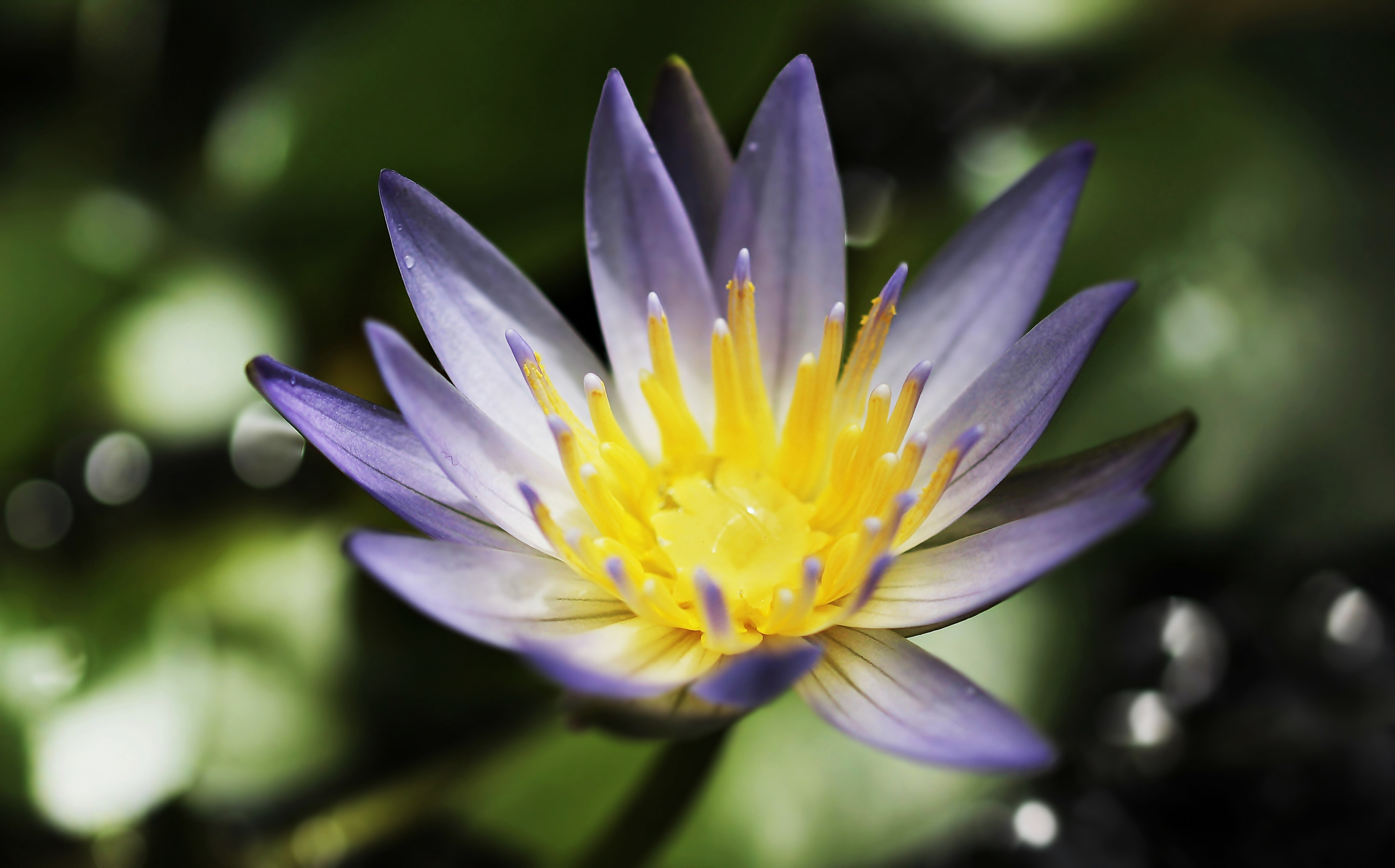 water lily 4k 5k wallpaper