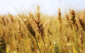 Wheat Close Up Wallpaper