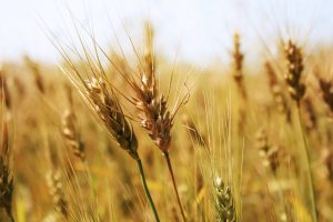 wheat close up wallpaper background