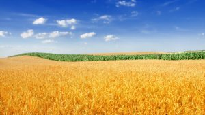 Wheat Field Wallpaper 4K Background 2