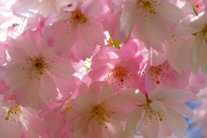 white and pink flowers wallpaper background