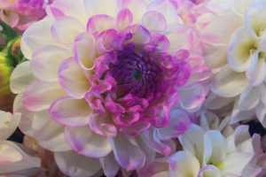 white and purple flower wallpaper background