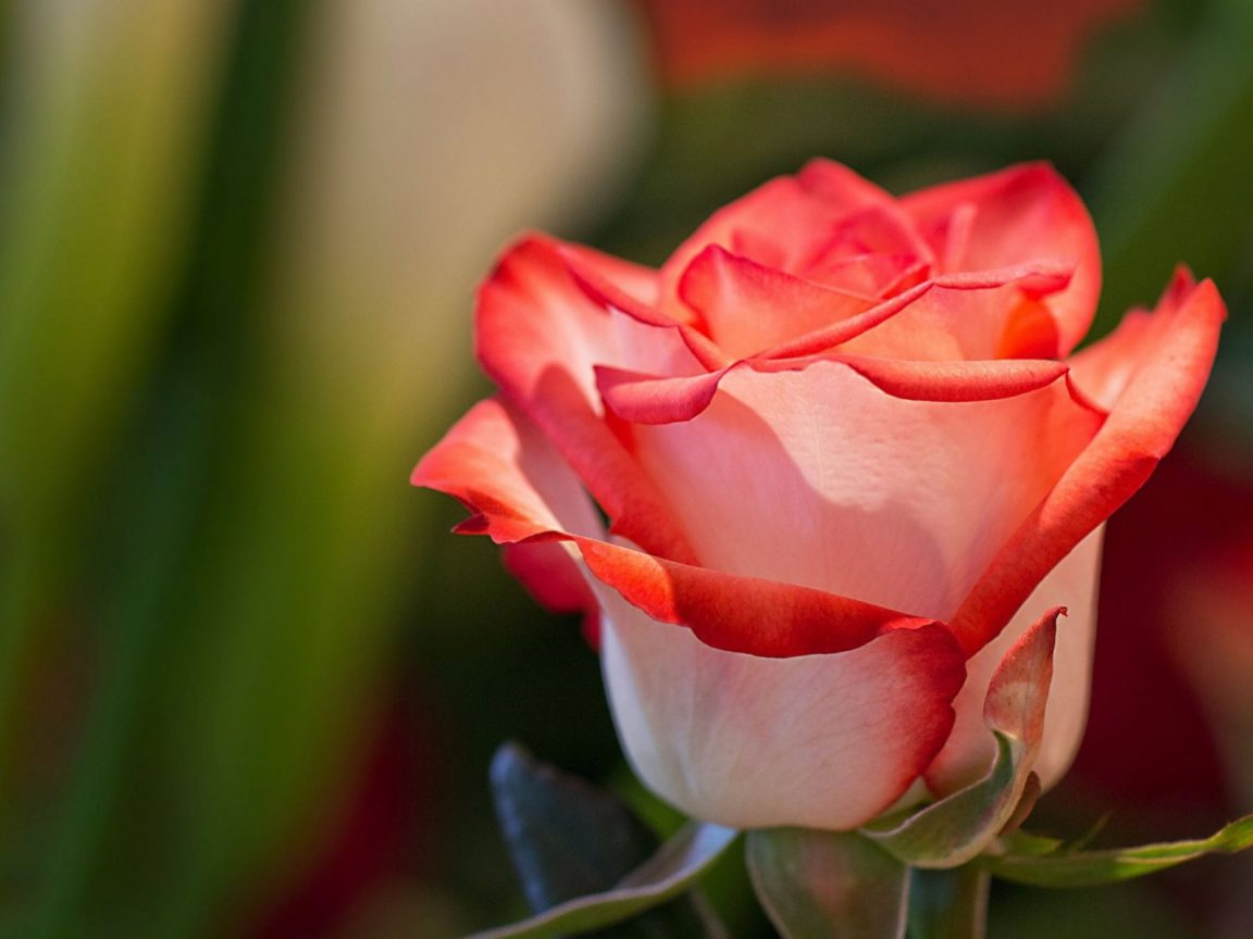 red and white rose wallpaper - photo #20