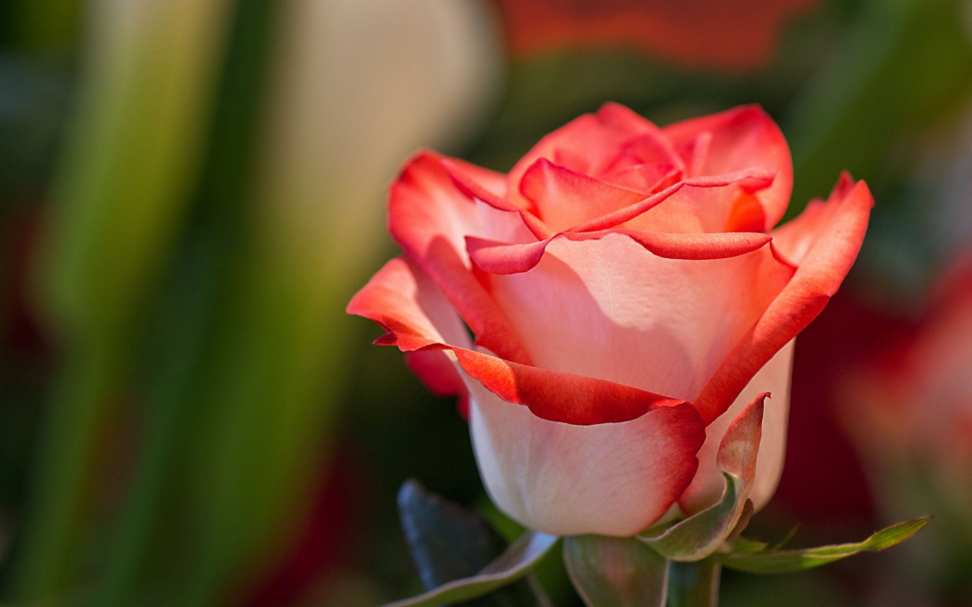 white and red rose wallpaper background