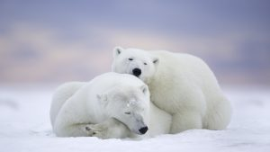 White Bear 4K Wallpaper