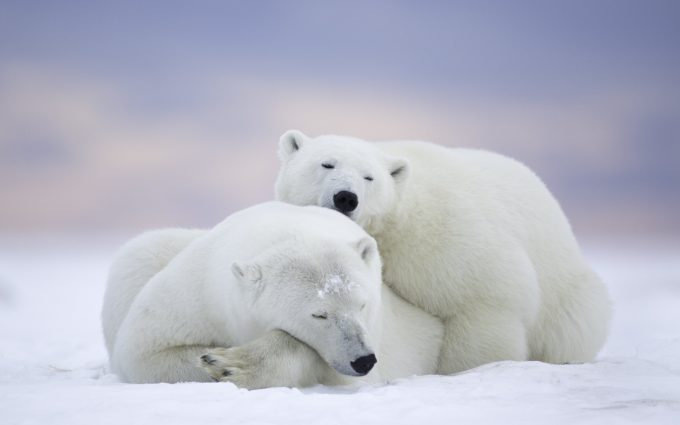 white bear 4k