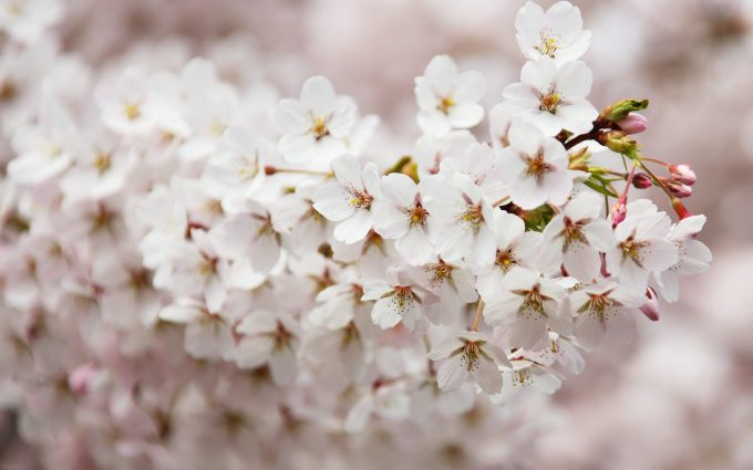 white blooming flowers 4k wallpaper background