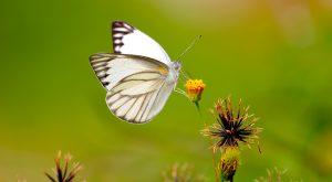 White Butterfly Wallpaper 4K 8K