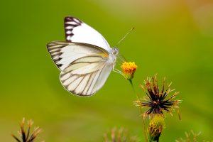 white butterfly wallpaper 4k 8k background