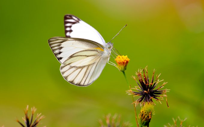 white butterfly wallpaper 4k 8k background