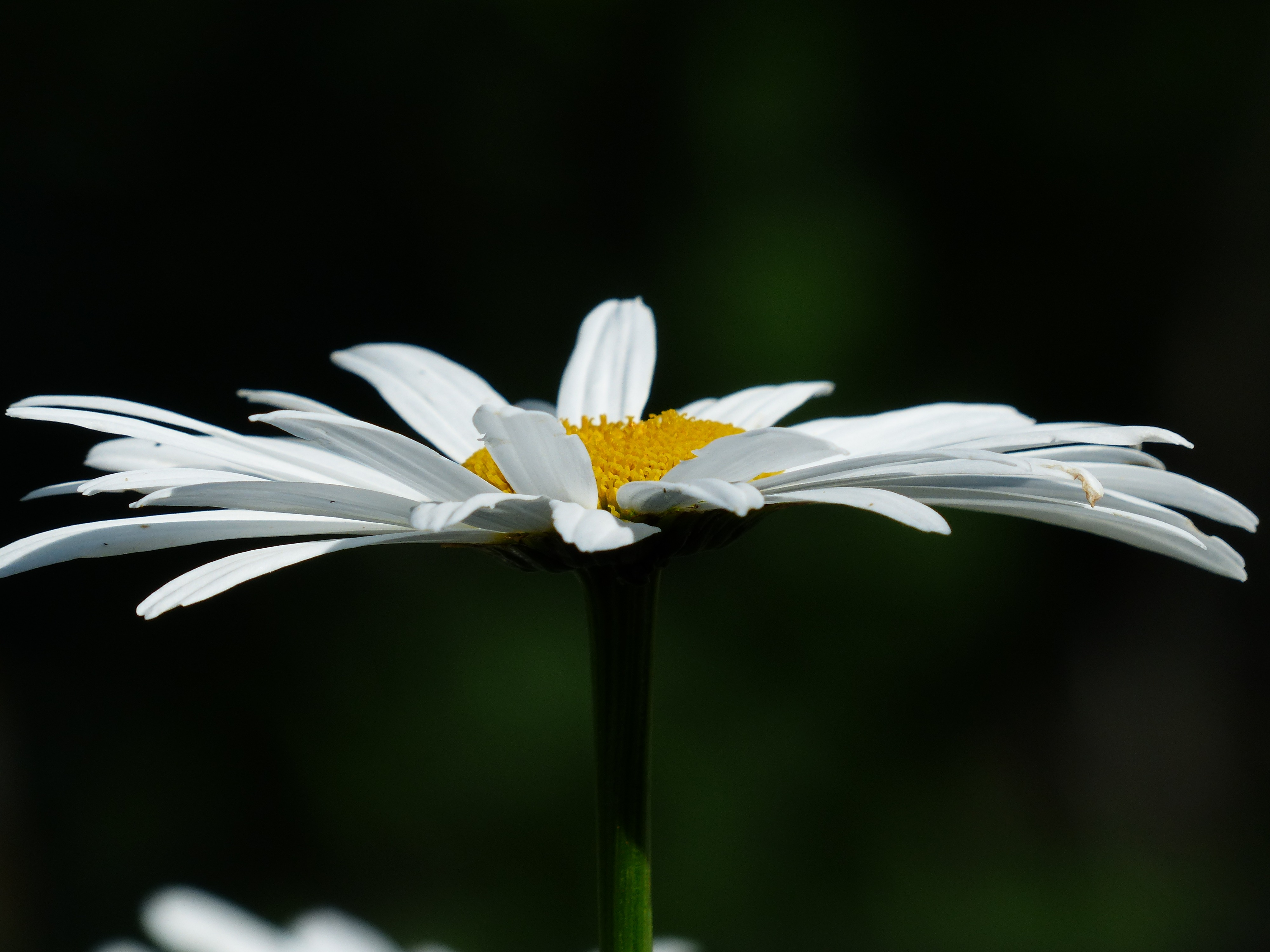 white daisy close up 4k wallpaper background