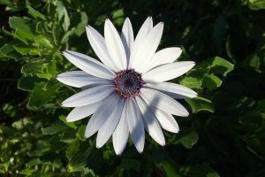 White Daisy Wallpaper Background