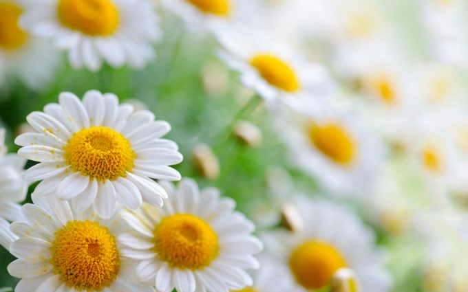 white flowers 4k 8k wallpaper