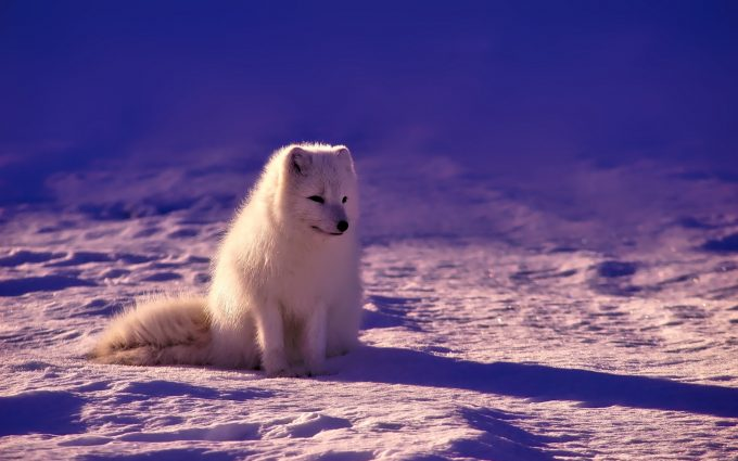 white fox wallpaper background