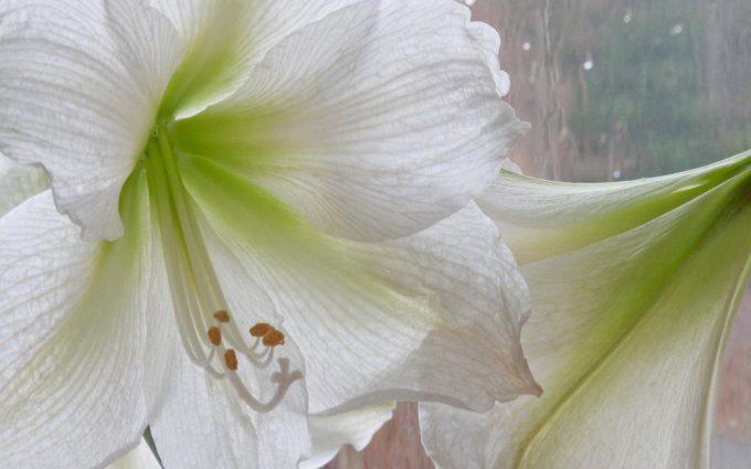 white lily flower wallpaper