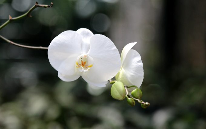 white orchid wallpaper background