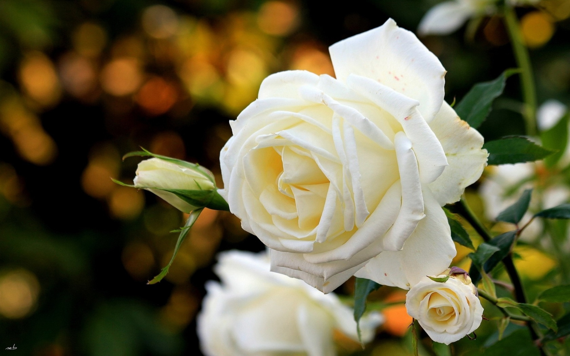 white rose close up wallpaper
