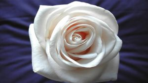 White Rose HD Wallpaper Background