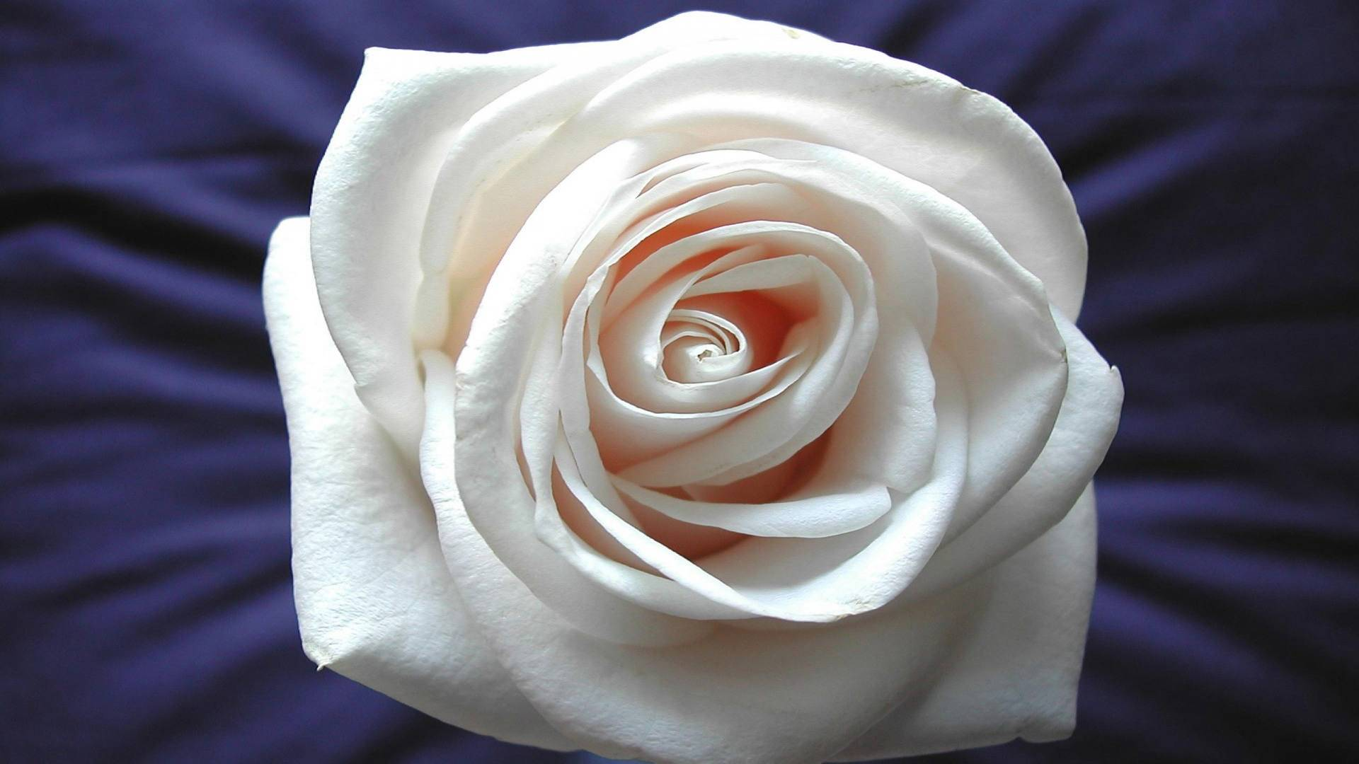 white rose hd wallpaper background images wallpapers