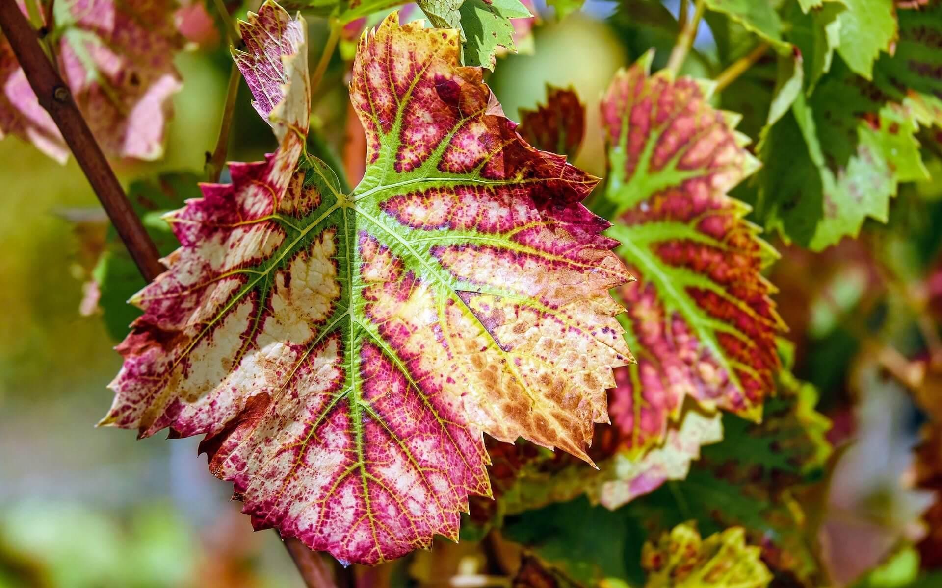 wine leaf wallpaper background