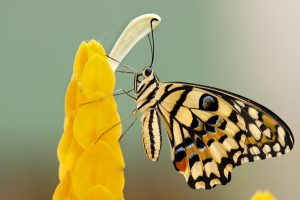 yellow butterfly wallpaper background