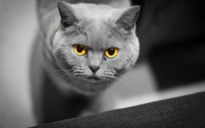 yellow eyes cat wallpaper background