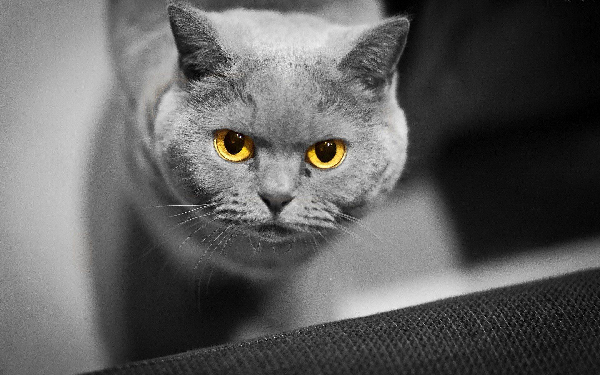 yellow eyes cat wallpaper background