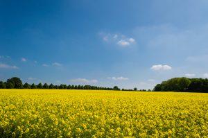 Yellow Flowers Field Wallpaper 4K