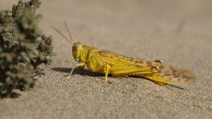 Yellow Grasshopper Wallpaper 4K