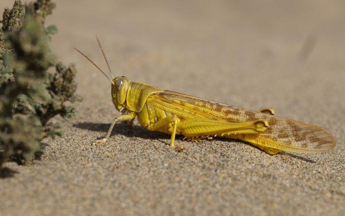 yellow grasshopper wallpaper 4k background
