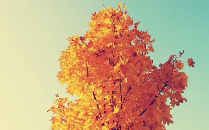 yellow leaves tree wallpaper background