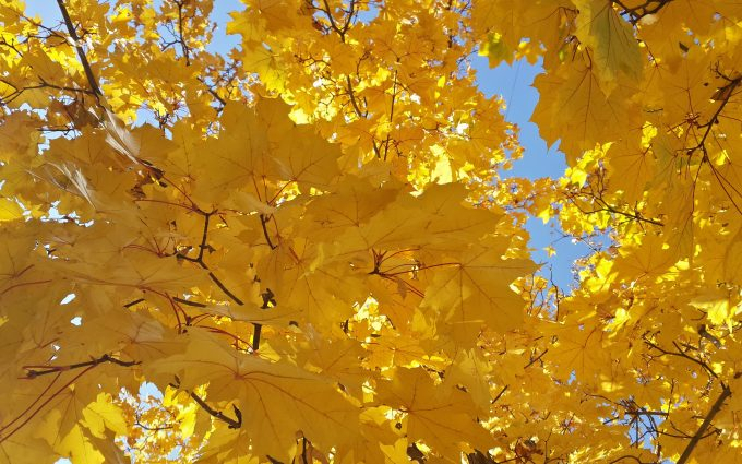 yellow leaves wallpaper 4k background