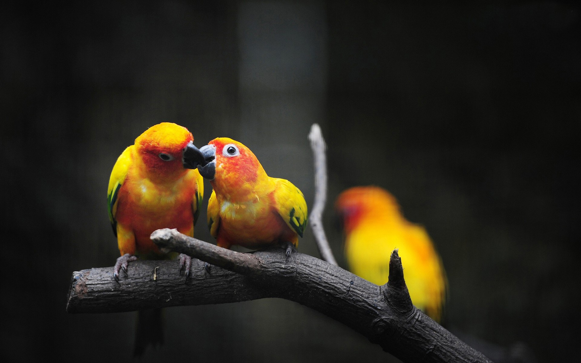 yellow parrots wallpaper background