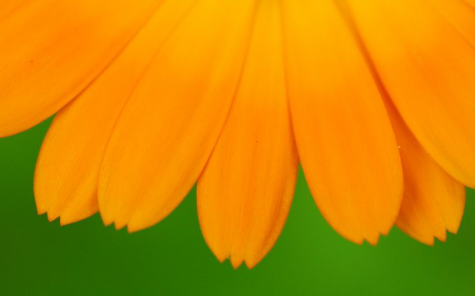 yellow petal flower wallpaper 4k background