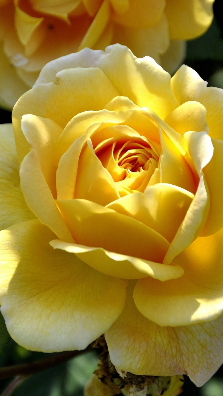 Yellow Rose 4K Wallpaper | HD Wallpaper Background