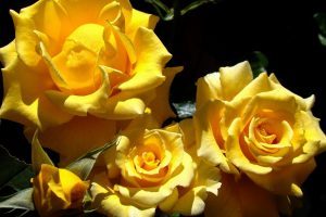 yellow roses wallpaper background