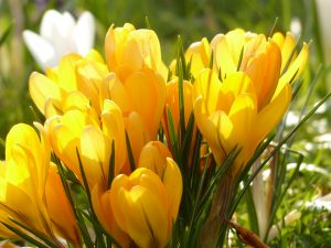 Yellow Tulip Flowers Wallpaper 4K