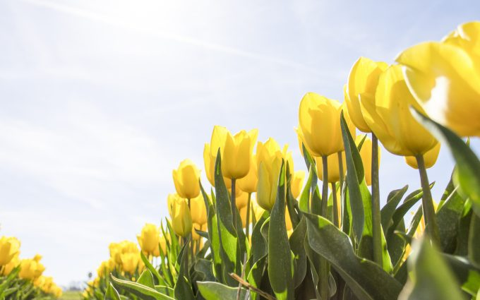 yellow tulips wallpaper 4k background