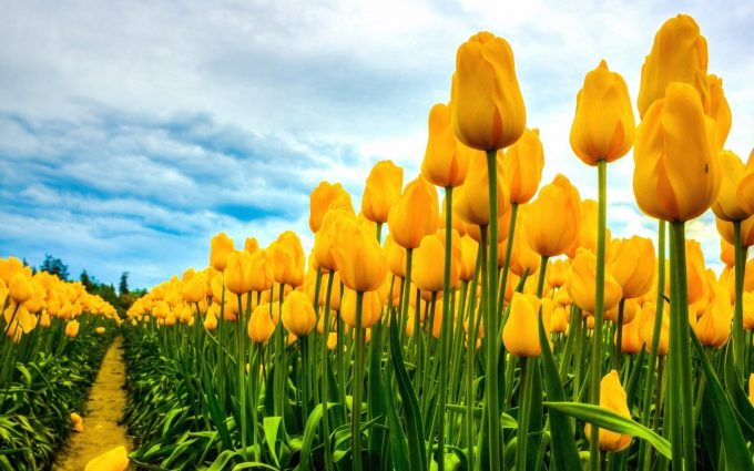 yellow tulips wallpaper background