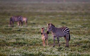 Zebra Baby Wallpaper Background